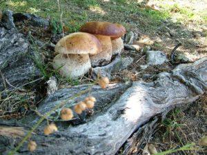 Corso per il riconoscimento dei funghi