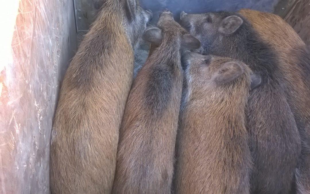 Proseguono le catture dei cinghiali,  presi 5 giovani esemplari