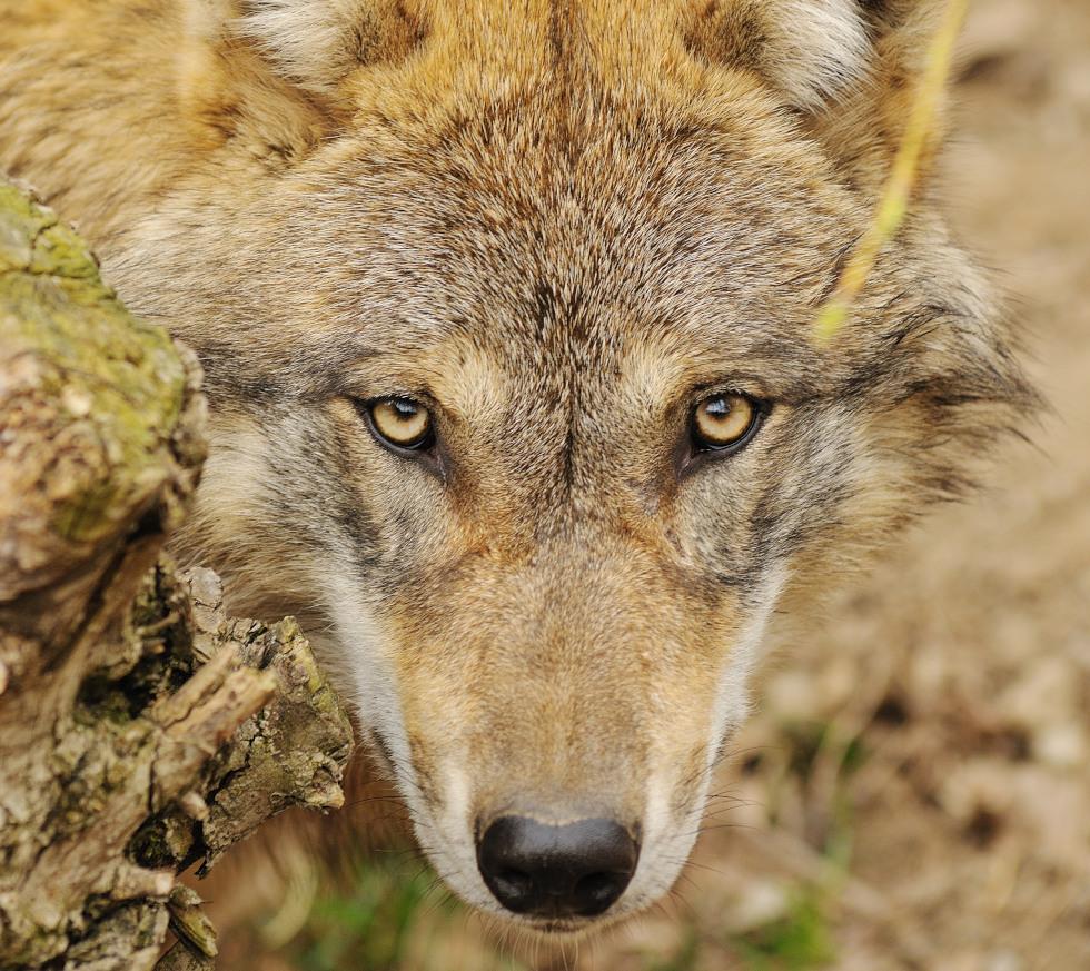 Il lupo è tornato a Veio